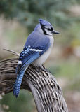 Blue Jay perched on a wicker chair Royalty Free Stock Photography
