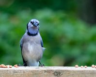 Blue Jay perched on wooden deck railing to sample some shelled peanuts. One blue jay perched on a weathered wooden deck railing amid a bunch of shelled peanuts royalty free stock images