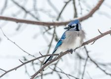Blue Jay Perched in a Woody Area of Birch and Aspen in Lamarche, Quebec. Canada stock photography