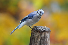 Blue Jay Perching in Autumn Royalty Free Stock Image