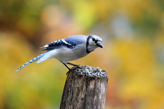 Blue Jay Perching on a Post Stock Image