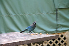 Blue jay on picnic table Royalty Free Stock Photo