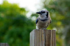 Blue jay profile. Blue jay bird perched on fence post looking to the side Royalty Free Stock Photos