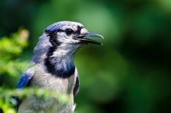 Blue Jay Profile Stock Image