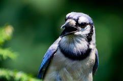 Blue Jay Profile Royalty Free Stock Photo
