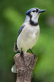 Blue Jay. A proud Blue Jay perched on a pine stump Stock Photos