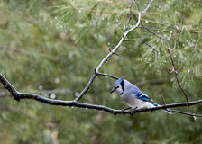 Blue Jay in Rain Stock Photos