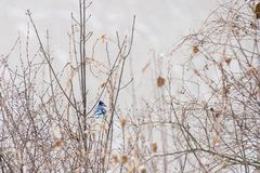 Blue Jay resting on the branch on a snowy winter morning royalty free stock photography