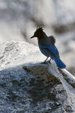 Blue Jay on rock Royalty Free Stock Photos