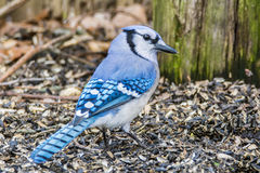 Blue Jay. Rummaging through the seeds on the ground Royalty Free Stock Image