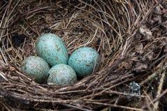 A blue jay`s nest with eggs. A blue jay`s nest with blue eggs stock photo