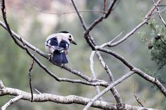 Blue jay sits on a dry branch Royalty Free Stock Photo