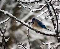 Blue Jay sitting alone on a tree branch just after a storm stock photo