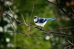 Blue Jay sitting alone on a tree branch just after a storm Stock Images