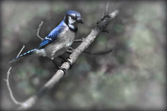 Blue jay. Sitting on a branch with a blurred background Stock Photos