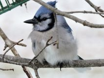 Blue jay sitting on branch in the Winter Royalty Free Stock Images