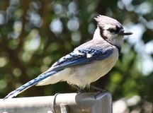 Blue Jay Sitting on Fence stock photo