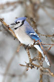 Blue Jay In Snow Royalty Free Stock Image