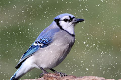 Blue Jay In Snow Royalty Free Stock Photo