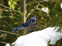 Blue jay on snow. A blue jay perched on the snowy branch of a cedar tree royalty free stock photography