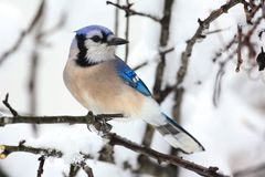 Blue Jay In Snow Stock Images