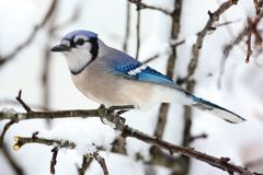 Blue Jay In Snow Royalty Free Stock Photography