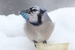 Blue Jay In Snow Royalty Free Stock Photos