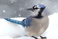 Blue Jay In Snow. Blue Jay (corvid cyanocitta) on a perch in wither with snow Stock Photos