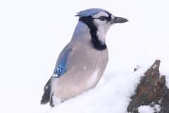 Blue Jay In Snow Royalty Free Stock Images