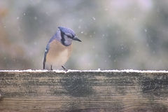 Blue Jay in the Snow Royalty Free Stock Image