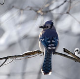 Blue Jay With A Snowy Backgrou. Blue Jay perched on a tree branch with a snowy background Stock Photos