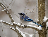 Blue Jay On Snowy Day Stock Photo