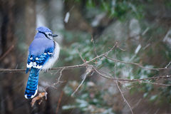 Blue Jay on a Snowy Day Royalty Free Stock Photos