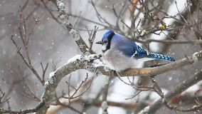 Blue Jay in a snowy scene stock video footage