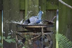Blue Jay Taking Splashing in a Backyard Birdbath with Wet Feathers. Blue Jay splashing in a backyard bird bath and scattering water droplets Stock Image