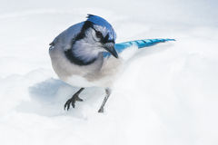 Blue Jay. Standing in the snow Stock Image