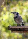 Blue Jay Stare Stock Photography