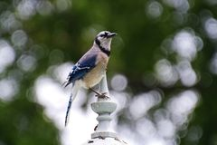 Blue Jay on a street lamp post royalty free stock photos