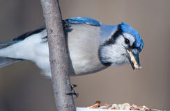 Blue Jay Stuffing its Beak. Photograph of a beautiful Blue Jay at a midwest feeding station stuffing its beak full while hoarding peanuts Stock Image