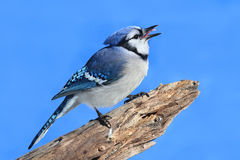 Blue Jay On A Stump Stock Images