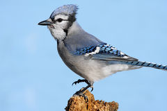 Blue Jay On A Stump Stock Image