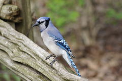 Blue Jay Summer Day Stock Images