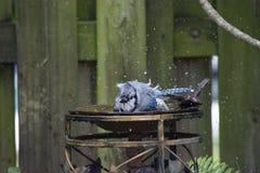 Blue Jay Taking a Bath and Splashing with Wet Feathers. Blue Jay splashing on camera with wet feathers in a backyard bird bath Stock Image