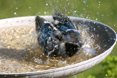 Blue Jay Taking a Bird Bath. Action shot of a Blue Jay (Cyanocitta cristata) taking a bath and splashing water in a residential backyard garden bird bath Stock Photo