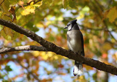 Blue Jay in Tree Royalty Free Stock Photography