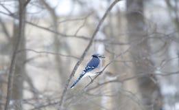Blue Jay in tree Stock Image