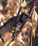 Blue Jay On Tree Branch Royalty Free Stock Photos