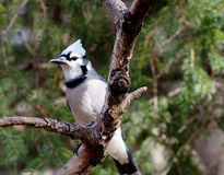 Blue Jay On Tree Branch. Blue jay on branch of spruce tree in autumn Royalty Free Stock Images