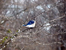 Blue jay in a tree. A blue jay sits in a tree after a winter snow Royalty Free Stock Image