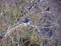 Blue Jay und Freund Lizenzfreie Stockfotografie